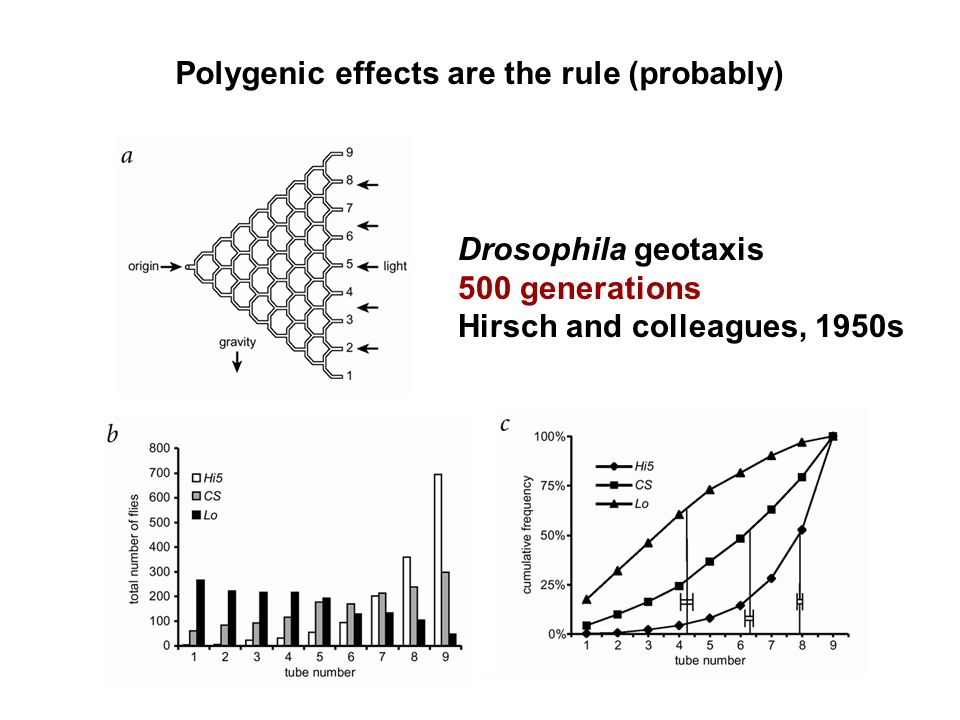 Polygenic effects are the rule (probably) Drosophila geotaxis 500 generations Hirsch and colleagues, 1950s