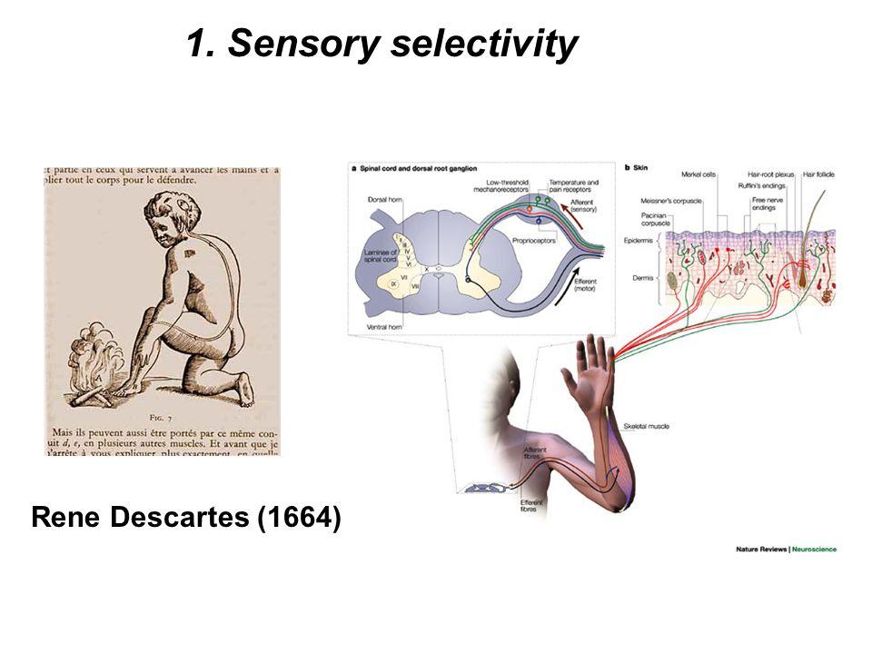 1. Sensory selectivity Rene Descartes (1664)
