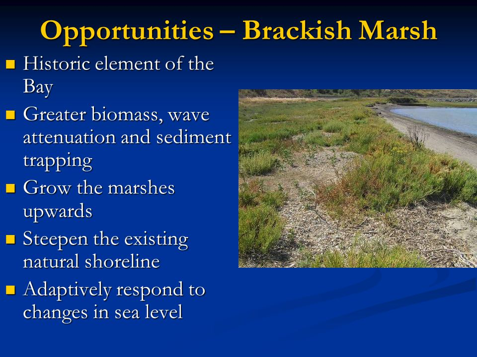 Opportunities – Brackish Marsh Historic element of the Bay Historic element of the Bay Greater biomass, wave attenuation and sediment trapping Greater biomass, wave attenuation and sediment trapping Grow the marshes upwards Grow the marshes upwards Steepen the existing natural shoreline Steepen the existing natural shoreline Adaptively respond to changes in sea level Adaptively respond to changes in sea level