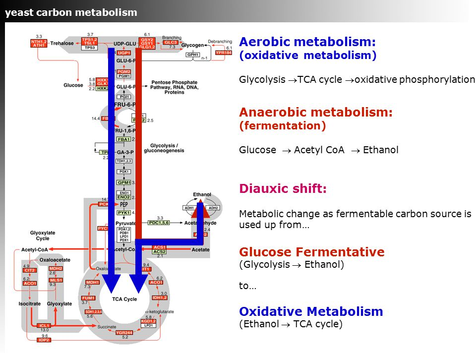 Aerobic metabolism: (oxidative metabolism) Glycolysis TCA cycle oxidative phosphorylation Anaerobic metabolism: (fermentation) Glucose  Acetyl CoA