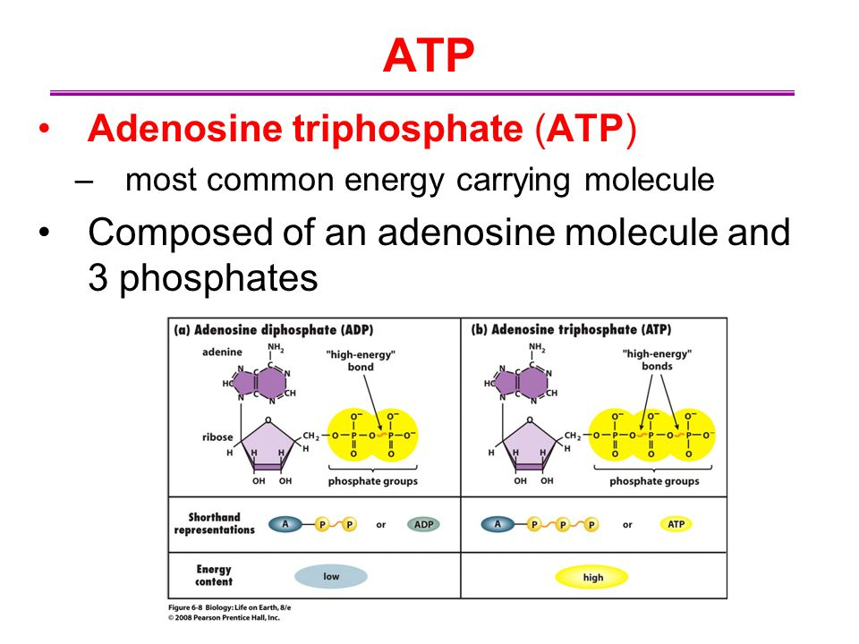 ATP Adenosine triphosphate (ATP) –most common energy carrying molecule Composed of an adenosine molecule and 3 phosphates