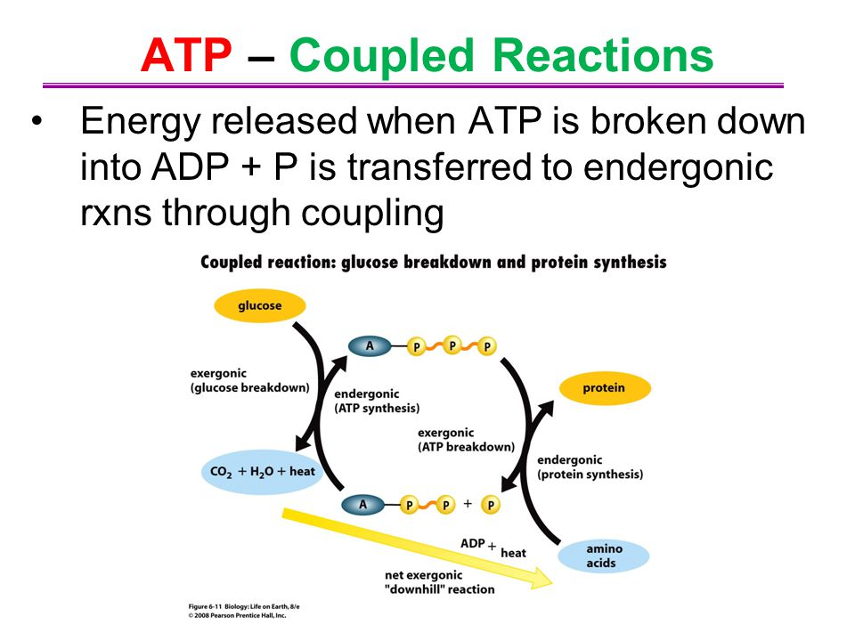 ATP – Coupled Reactions Energy released when ATP is broken down into ADP + P is transferred to endergonic rxns through coupling