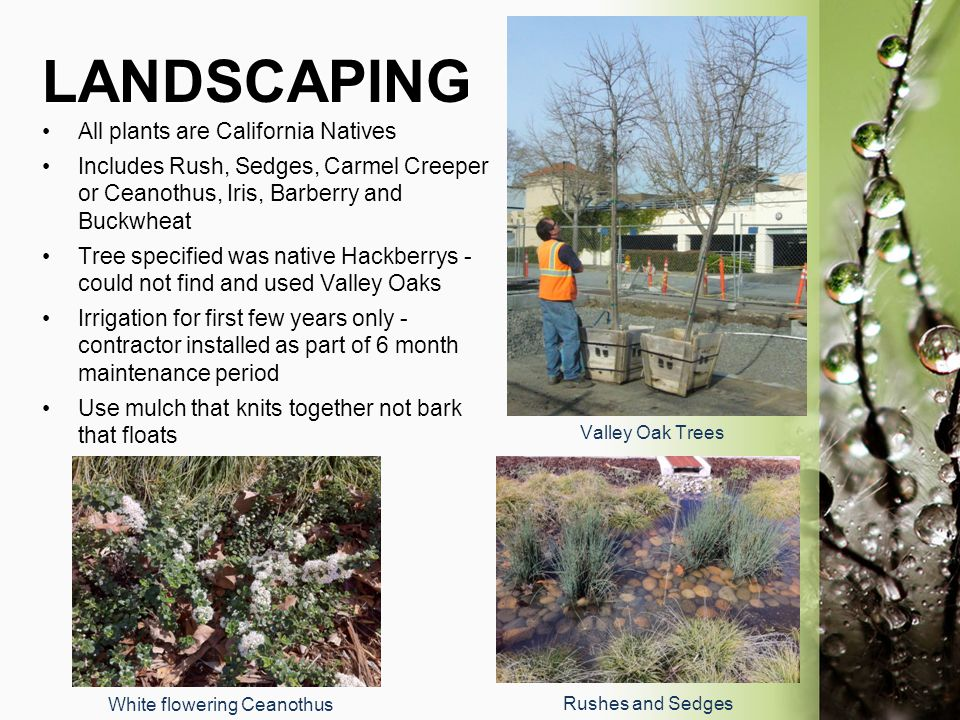 LANDSCAPING All plants are California Natives Includes Rush, Sedges, Carmel Creeper or Ceanothus, Iris, Barberry and Buckwheat Tree specified was nati