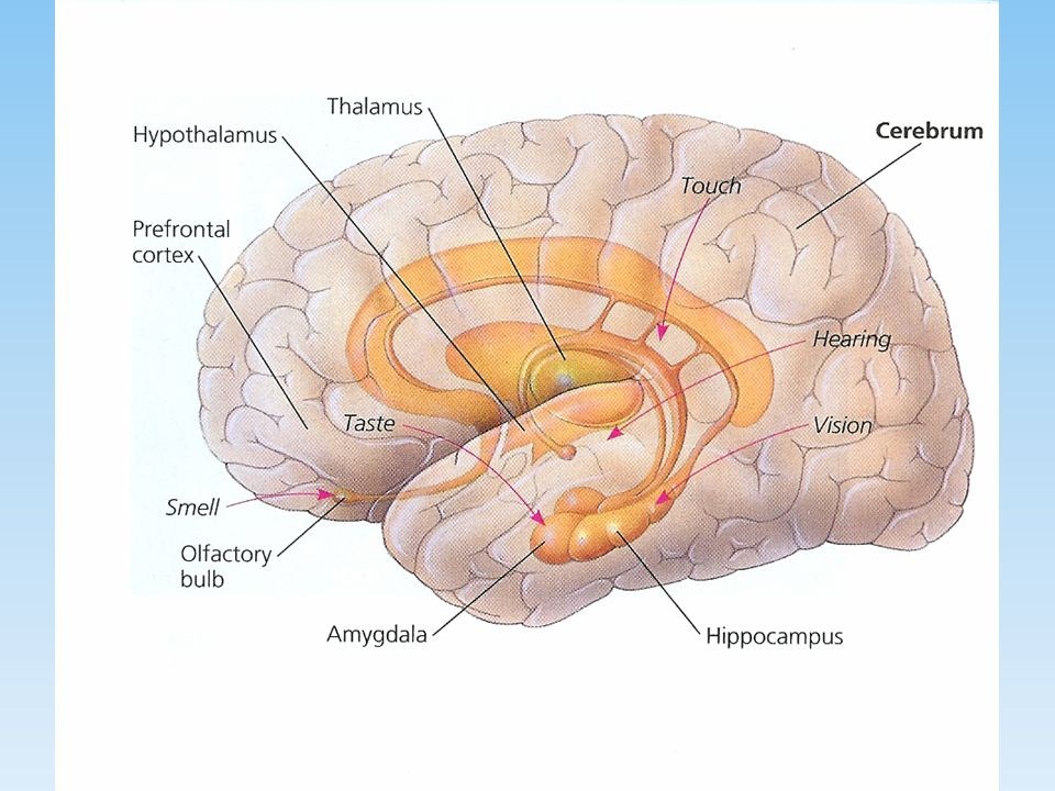 Primary Centers of Learning Hippocampus Hippocampus Amygdala Amygdala Medial temporal lobe Medial temporal lobe PF cortex PF cortex Association cortic