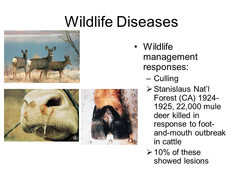 Wildlife Diseases Wildlife management responses: –Culling  Stanislaus Nat'l Forest (CA) 1924- 1925, 22,000 mule deer killed in response to foot- and-mouth outbreak in cattle  10% of these showed lesions