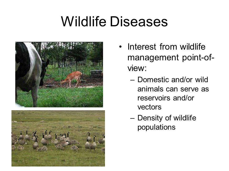 Wildlife Diseases Interest from wildlife management point-of- view: –Domestic and/or wild animals can serve as reservoirs and/or vectors –Density of wildlife populations