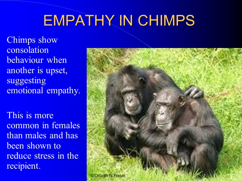 EMPATHY IN CHIMPS Chimps show consolation behaviour when another is upset, suggesting emotional empathy.