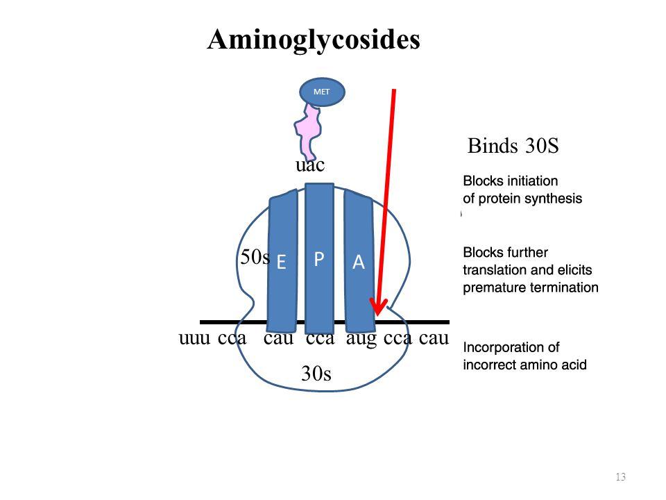 13 E A P uuu cca cau cca aug cca cau MET uac 30s 50s Aminoglycosides Binds 30S