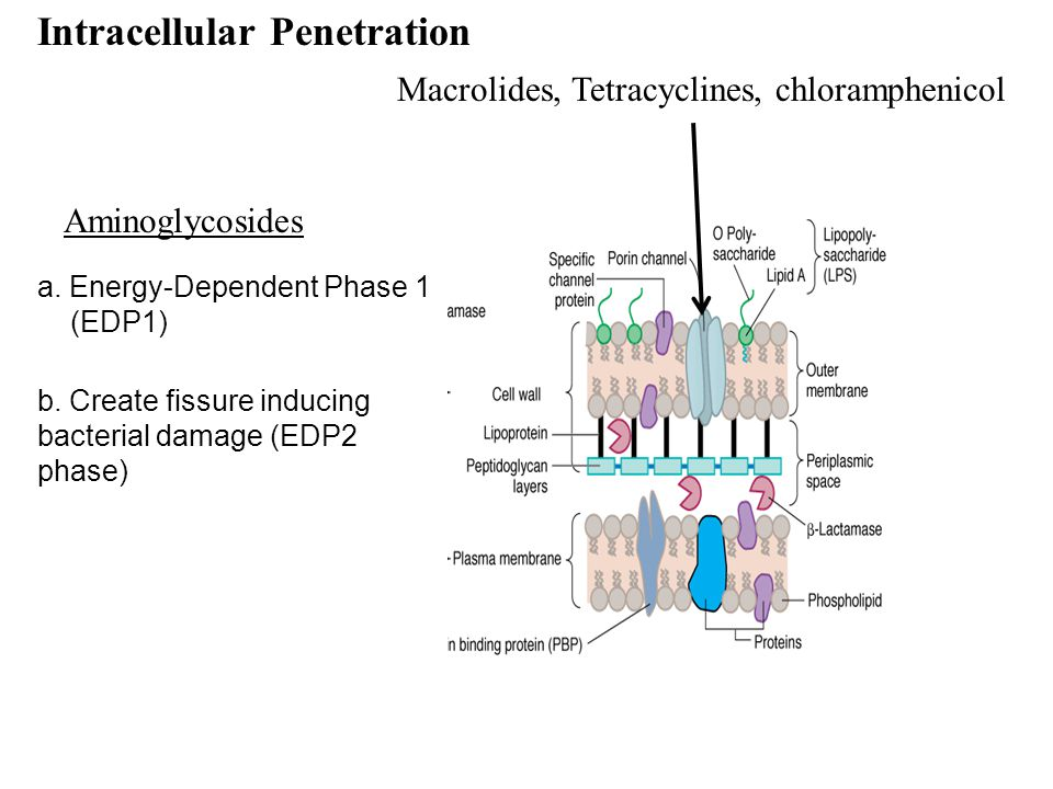 a. Energy-Dependent Phase 1 (EDP1) Intracellular Penetration b. Create fissure inducing bacterial damage (EDP2 phase) Macrolides, Tetracyclines, chlor