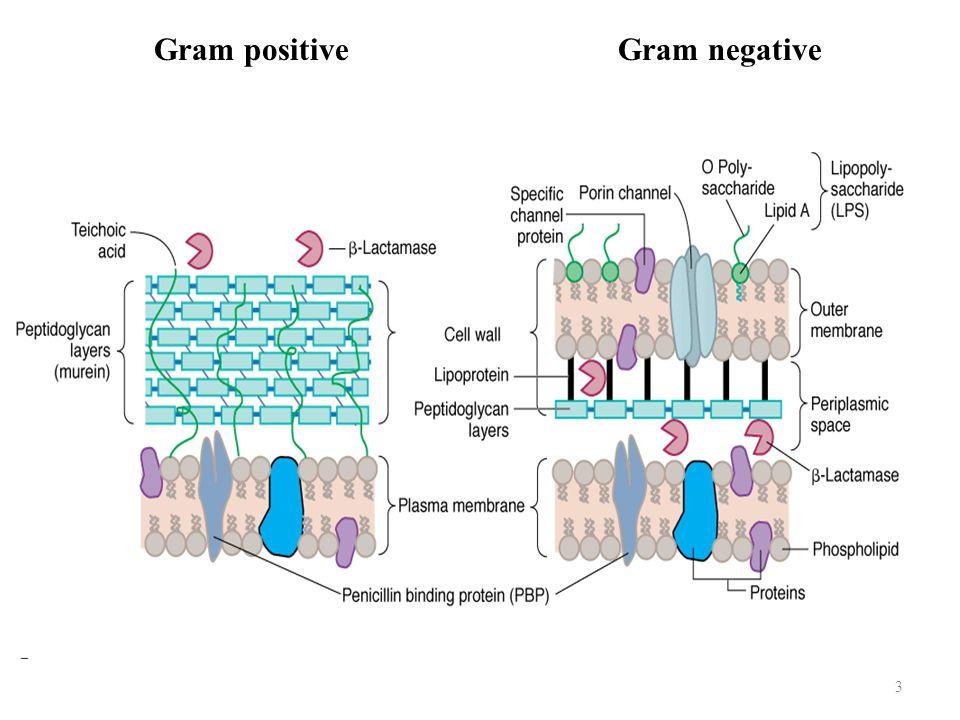 3 Gram positiveGram negative