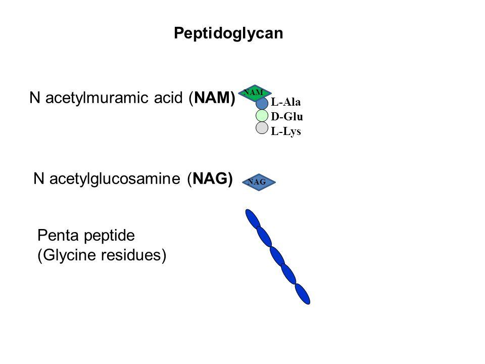 Peptidoglycan N acetylmuramic acid (NAM) N acetylglucosamine (NAG) Penta peptide (Glycine residues) NAG NAM L-Ala D-Glu L-Lys