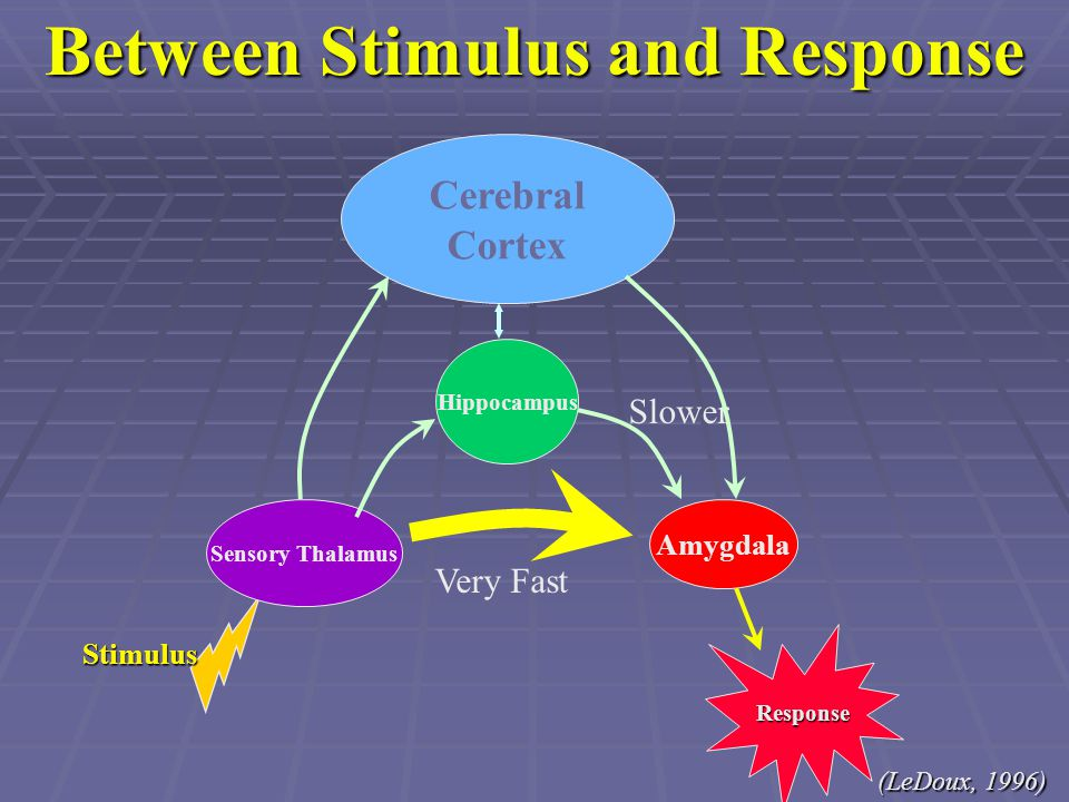 Between Stimulus and Response Stimulus Sensory Thalamus Amygdala Cerebral Cortex Very Fast Slower Hippocampus Response (LeDoux, 1996)
