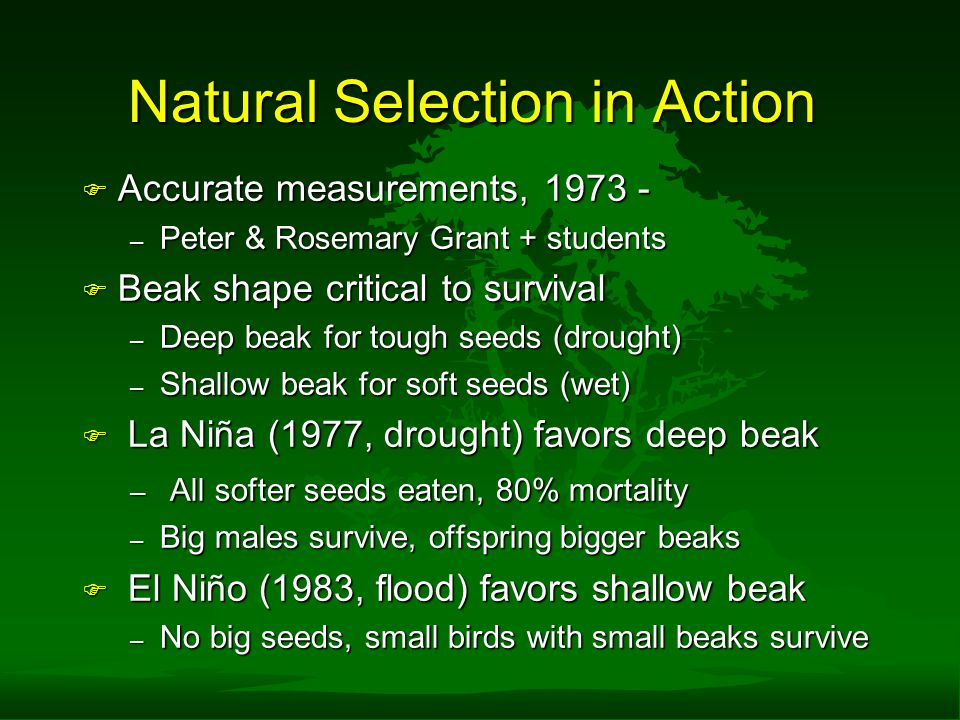 Natural Selection in Action F Accurate measurements, 1973 - – Peter & Rosemary Grant + students F Beak shape critical to survival – Deep beak for tough seeds (drought) – Shallow beak for soft seeds (wet) F La Niña (1977, drought) favors deep beak – All softer seeds eaten, 80% mortality – Big males survive, offspring bigger beaks F El Niño (1983, flood) favors shallow beak – No big seeds, small birds with small beaks survive