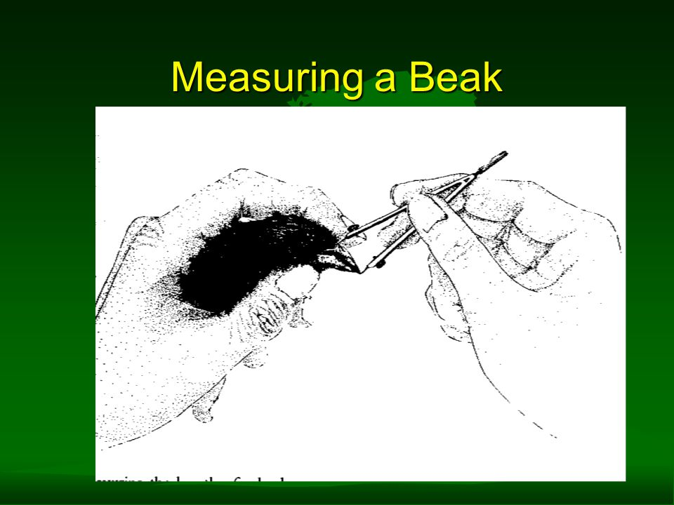 Measuring a Beak