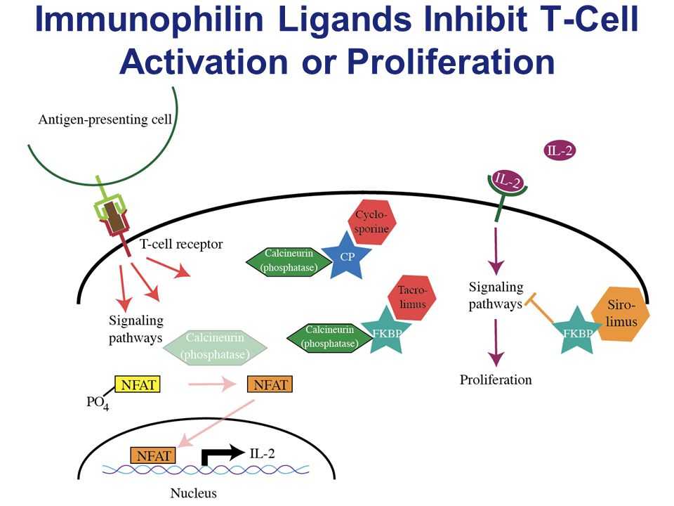 Immunophilin Ligands Inhibit T-Cell Activation or Proliferation