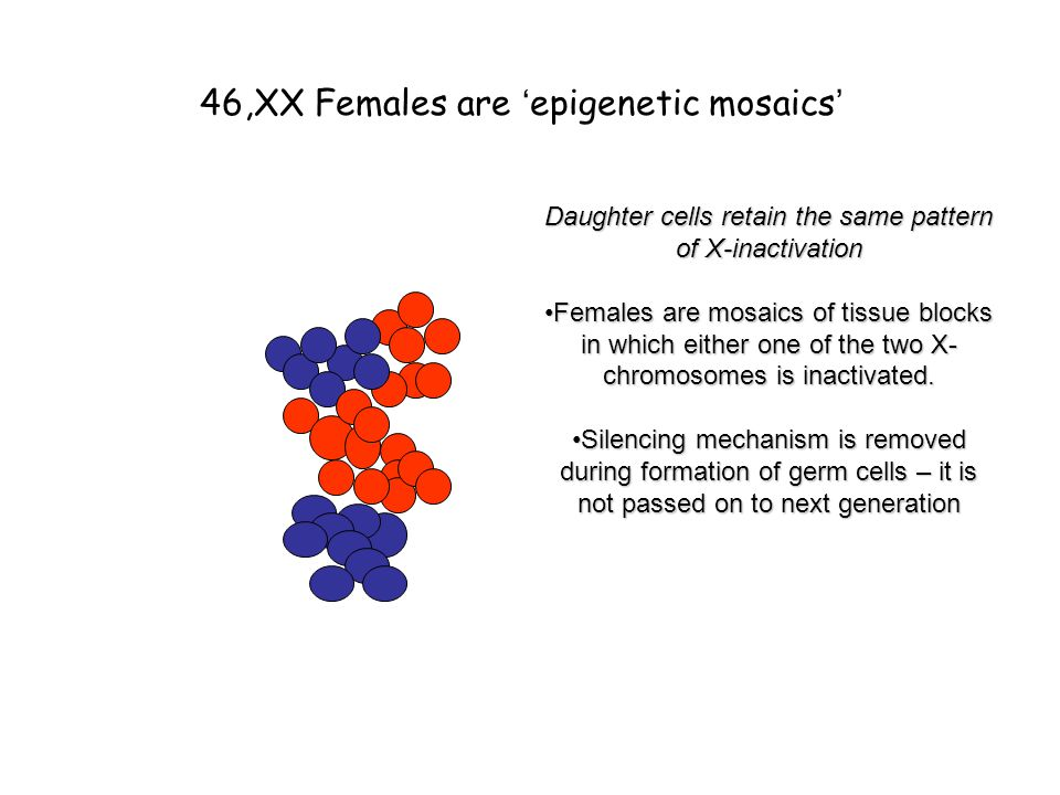 46,XX Females are ' epigenetic mosaics ' Daughter cells retain the same pattern of X-inactivation Females are mosaics of tissue blocks in which either