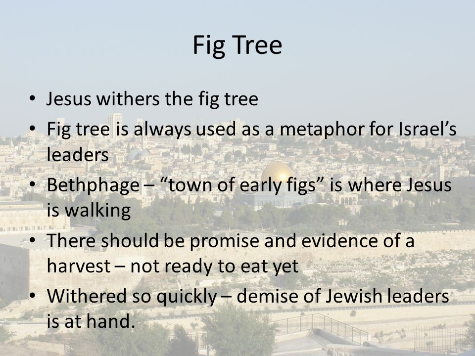Fig Tree Jesus withers the fig tree Fig tree is always used as a metaphor for Israel's leaders Bethphage – town of early figs is where Jesus is walking There should be promise and evidence of a harvest – not ready to eat yet Withered so quickly – demise of Jewish leaders is at hand.