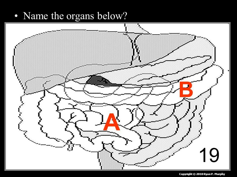 Name the organs below 19 A B Copyright © 2010 Ryan P. Murphy