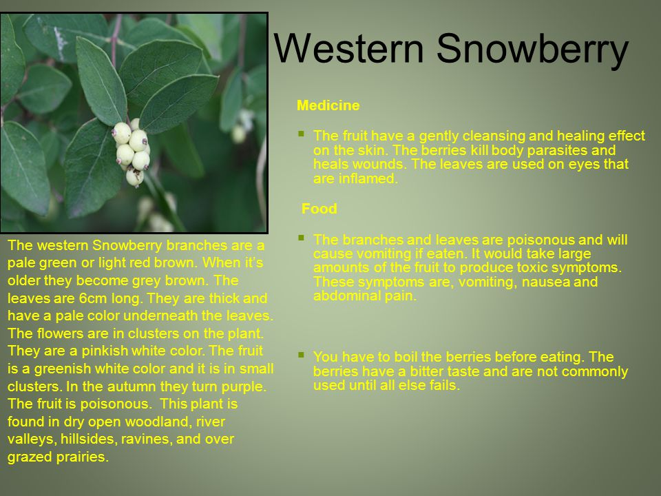 The western Snowberry branches are a pale green or light red brown.