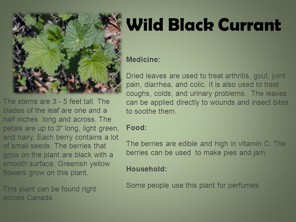 Medicine: Dried leaves are used to treat arthritis, gout, joint pain, diarrhea, and colic.