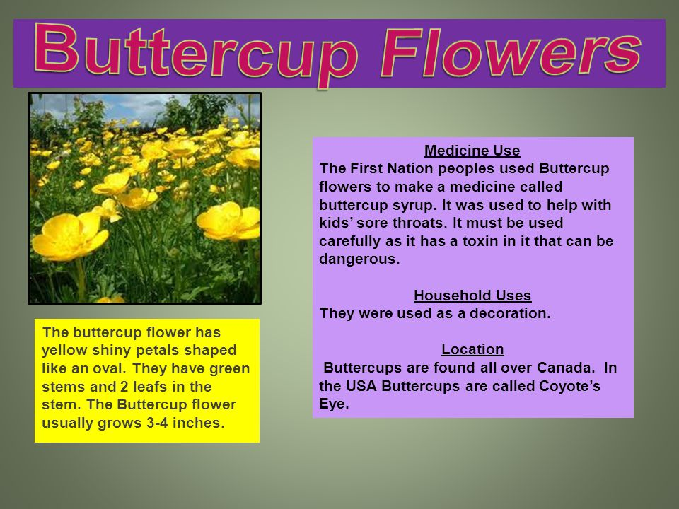 The buttercup flower has yellow shiny petals shaped like an oval.