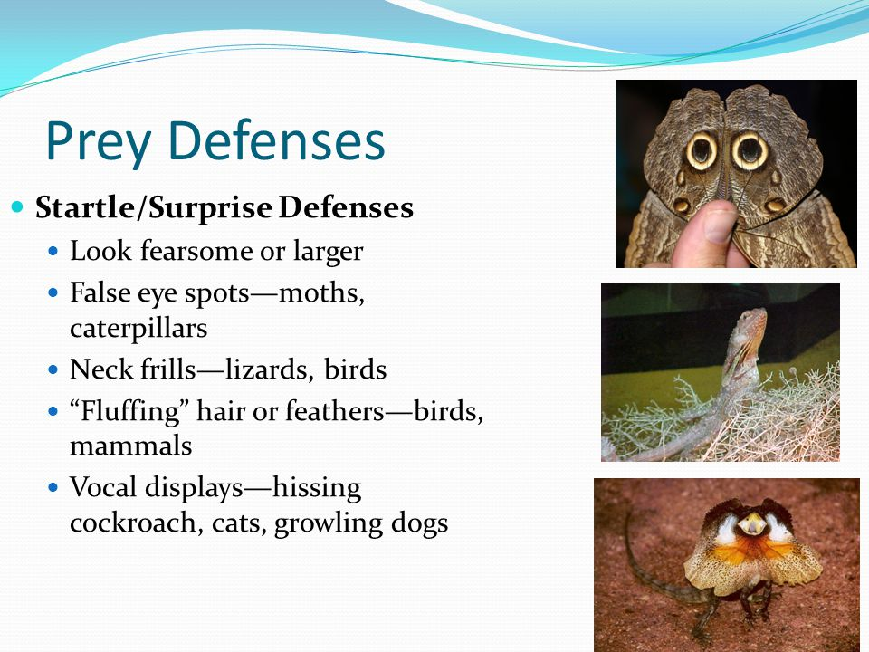 Prey Defenses Startle/Surprise Defenses Look fearsome or larger False eye spots—moths, caterpillars Neck frills—lizards, birds Fluffing hair or feathers—birds, mammals Vocal displays—hissing cockroach, cats, growling dogs