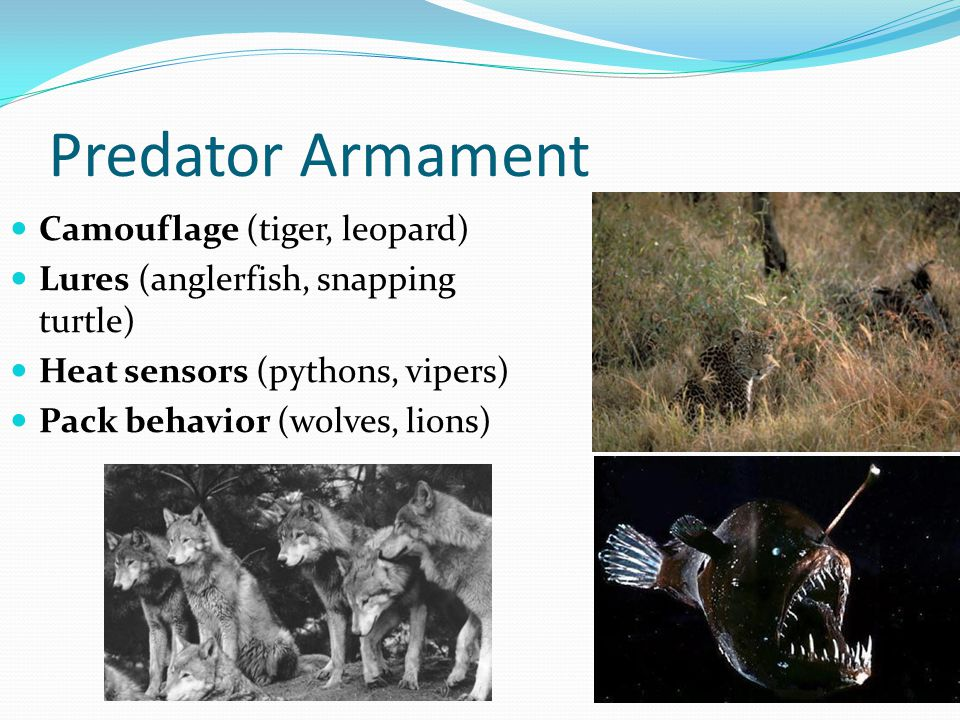 Predator Armament Camouflage (tiger, leopard) Lures (anglerfish, snapping turtle) Heat sensors (pythons, vipers) Pack behavior (wolves, lions)