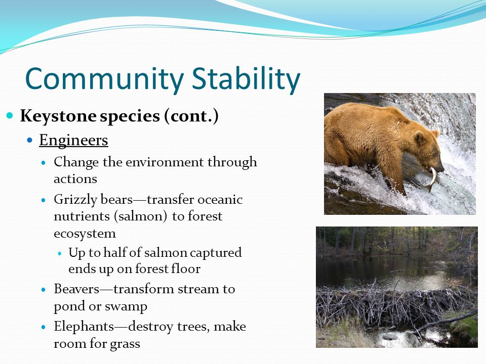 Community Stability Keystone species (cont.) Engineers Change the environment through actions Grizzly bears—transfer oceanic nutrients (salmon) to forest ecosystem Up to half of salmon captured ends up on forest floor Beavers—transform stream to pond or swamp Elephants—destroy trees, make room for grass