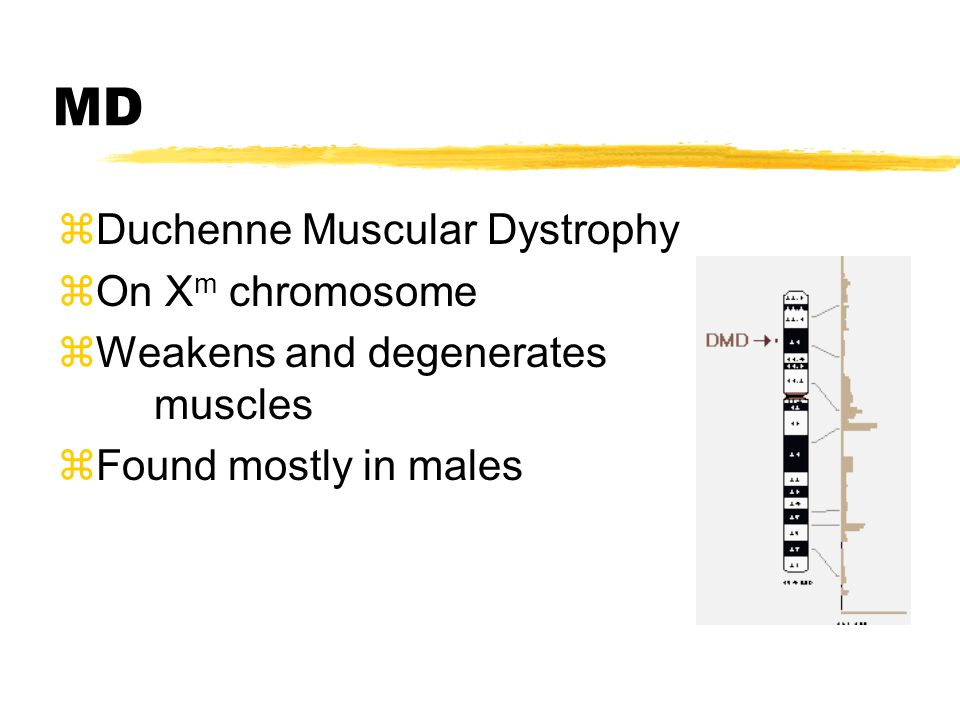 MD zDuchenne Muscular Dystrophy zOn X m chromosome zWeakens and degenerates muscles zFound mostly in males