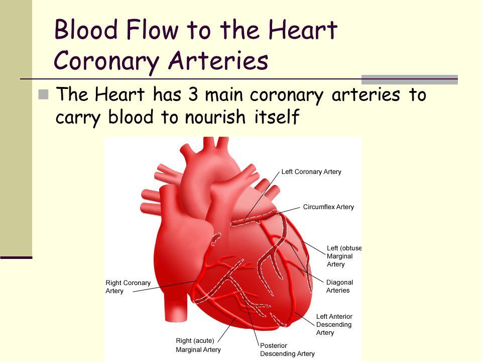 Blood Flow to the Heart Coronary Arteries The Heart has 3 main coronary arteries to carry blood to nourish itself