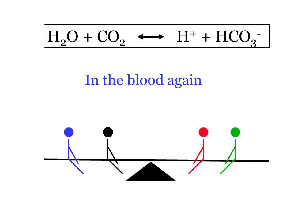 H 2 O + CO 2 H + + HCO 3 - In the blood again