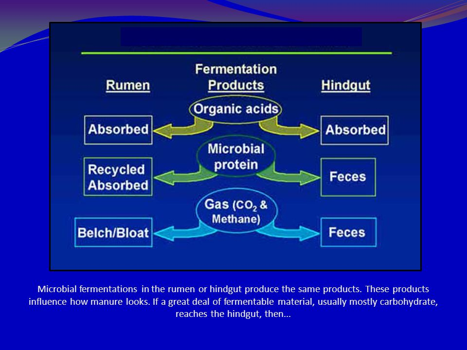 Microbial fermentations in the rumen or hindgut produce the same products.