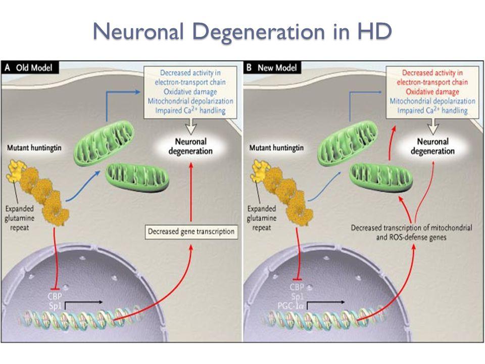 Neuronal Degeneration in HD