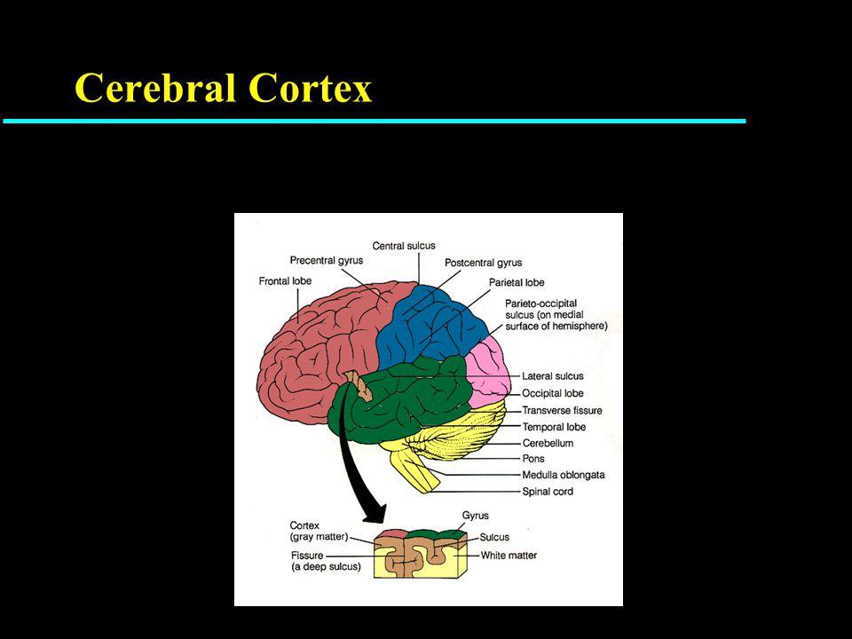 A Neuron (Brain Cell)