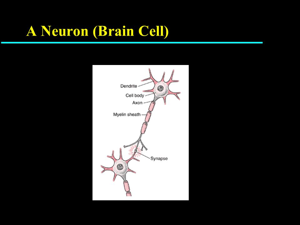 Complexity of One Neuron cell body in blue, axons in red, dendrites in green, boutons in white where axon communicates with other neurons