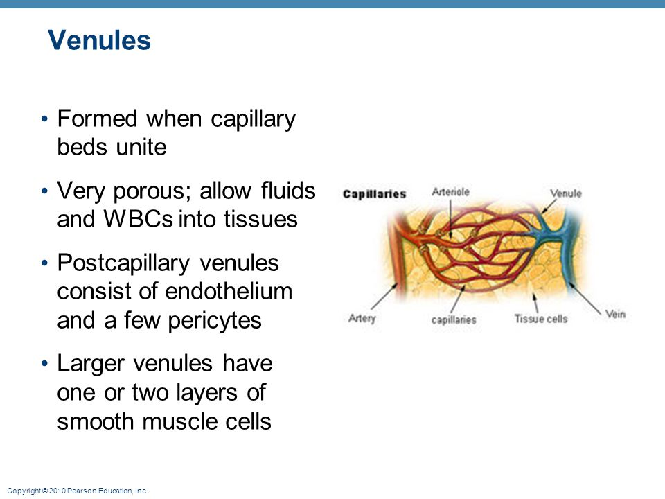 Copyright © 2010 Pearson Education, Inc. Venules Formed when capillary beds unite Very porous; allow fluids and WBCs into tissues Postcapillary venule
