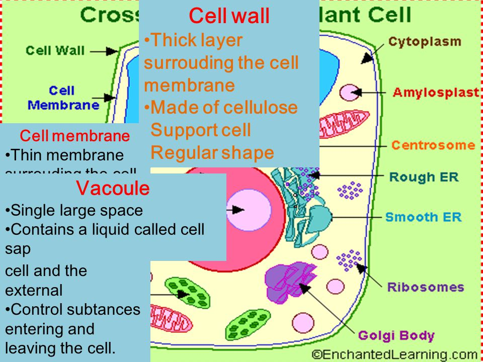 Cell wall Thick layer surrouding the cell membrane Made of cellulose Support cell Regular shape Cell membrane Thin membrane surrouding the cell Partially permeable Serces as a boundary between cell and the external Control subtances entering and leaving the cell.