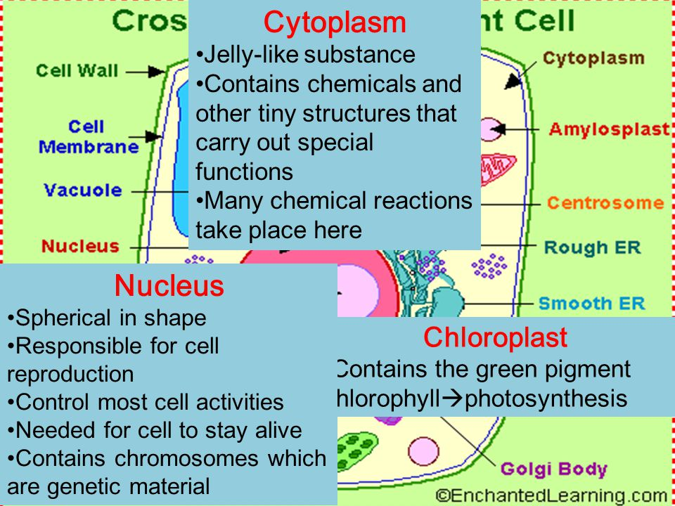 Chloroplast Contains the green pigment chlorophyll  photosynthesis Cytoplasm Jelly-like substance Contains chemicals and other tiny structures that carry out special functions Many chemical reactions take place here Nucleus Spherical in shape Responsible for cell reproduction Control most cell activities Needed for cell to stay alive Contains chromosomes which are genetic material