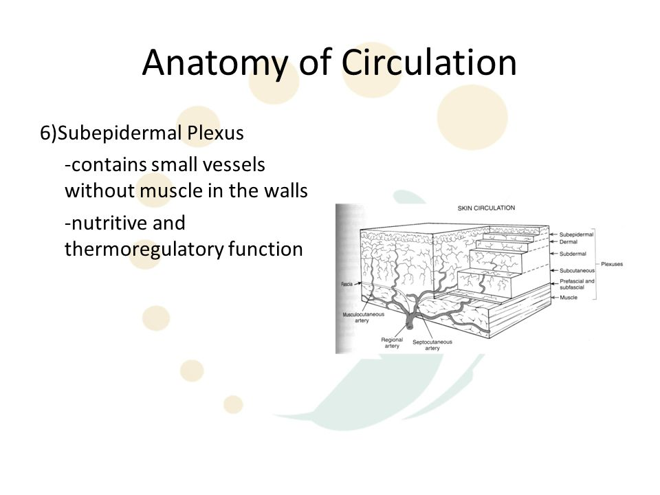 Anatomy of Circulation 6)Subepidermal Plexus -contains small vessels without muscle in the walls -nutritive and thermoregulatory function