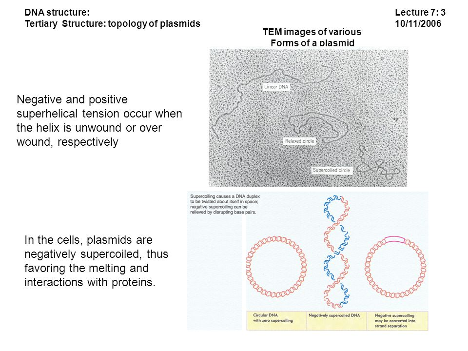 Lecture 7: 4 10/11/2006 DNA structure: Tertiary Structure: topology of plasmids