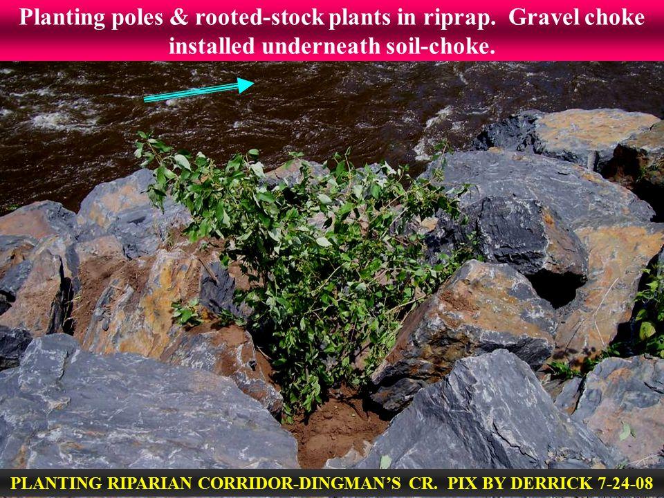 Planting poles & rooted-stock plants in riprap. Gravel choke installed underneath soil-choke. PLANTING RIPARIAN CORRIDOR-DINGMAN'S CR. PIX BY DERRICK