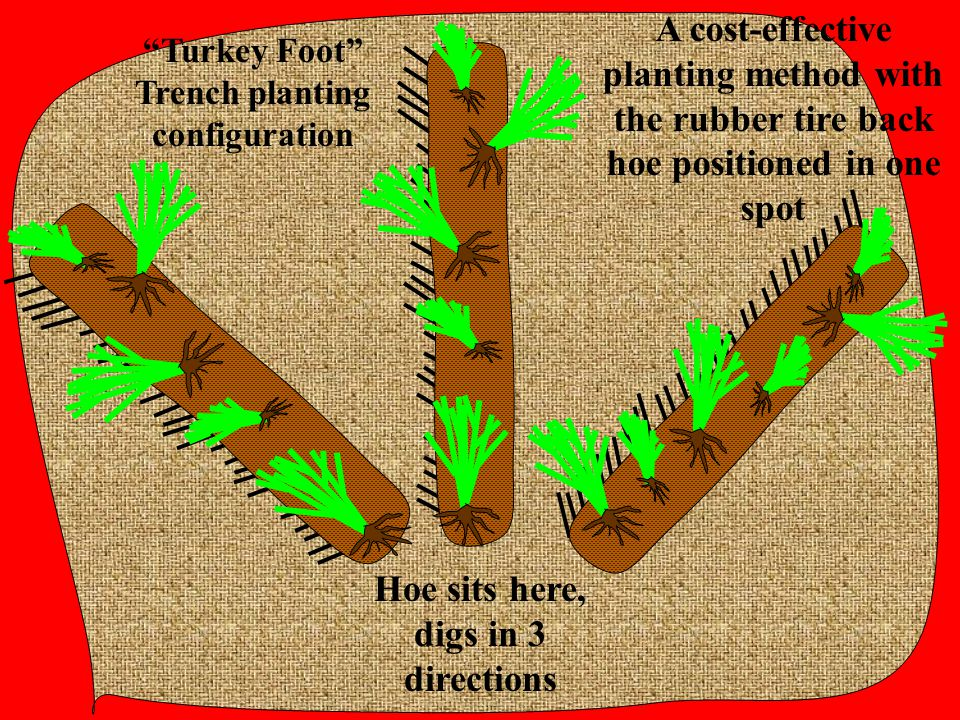 """""""Turkey Foot"""" Trench planting configuration A cost-effective planting method with the rubber tire back hoe positioned in one spot Hoe sits here, digs"""