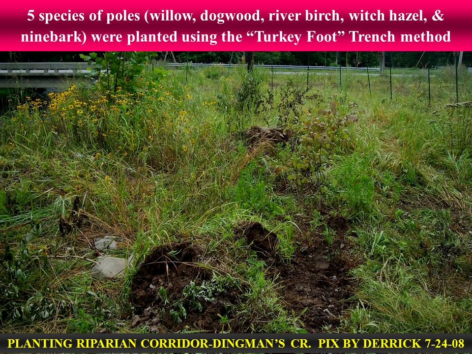 """5 species of poles (willow, dogwood, river birch, witch hazel, & ninebark) were planted using the """"Turkey Foot"""" Trench method PLANTING RIPARIAN CORRID"""
