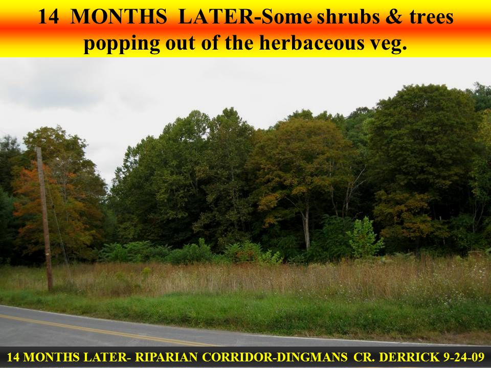 14 MONTHS LATER- RIPARIAN CORRIDOR-DINGMANS CR. DERRICK 9-24-09 14 MONTHS LATER-Some shrubs & trees popping out of the herbaceous veg.