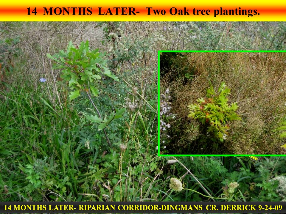 14 MONTHS LATER- Two Oak tree plantings. 14 MONTHS LATER- RIPARIAN CORRIDOR-DINGMANS CR. DERRICK 9-24-09