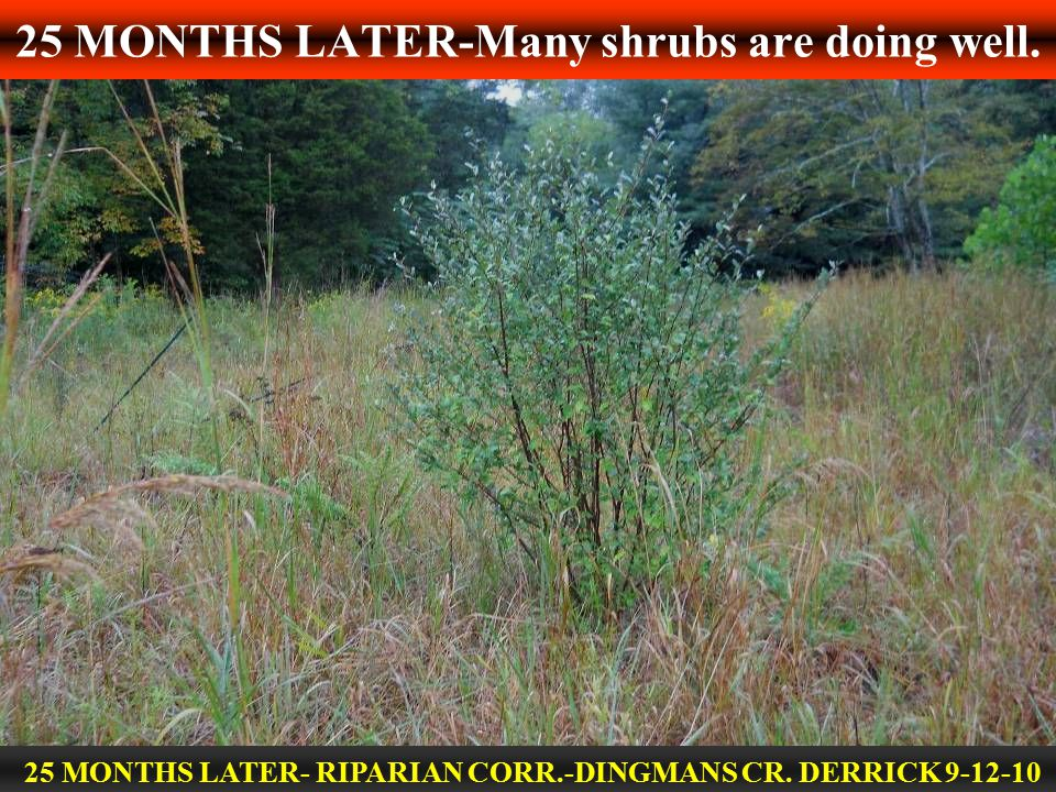 25 MONTHS LATER-Many shrubs are doing well. 25 MONTHS LATER- RIPARIAN CORR.-DINGMANS CR. DERRICK 9-12-10