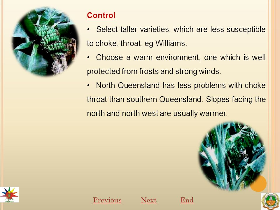 Control Select taller varieties, which are less susceptible to choke, throat, eg Williams.