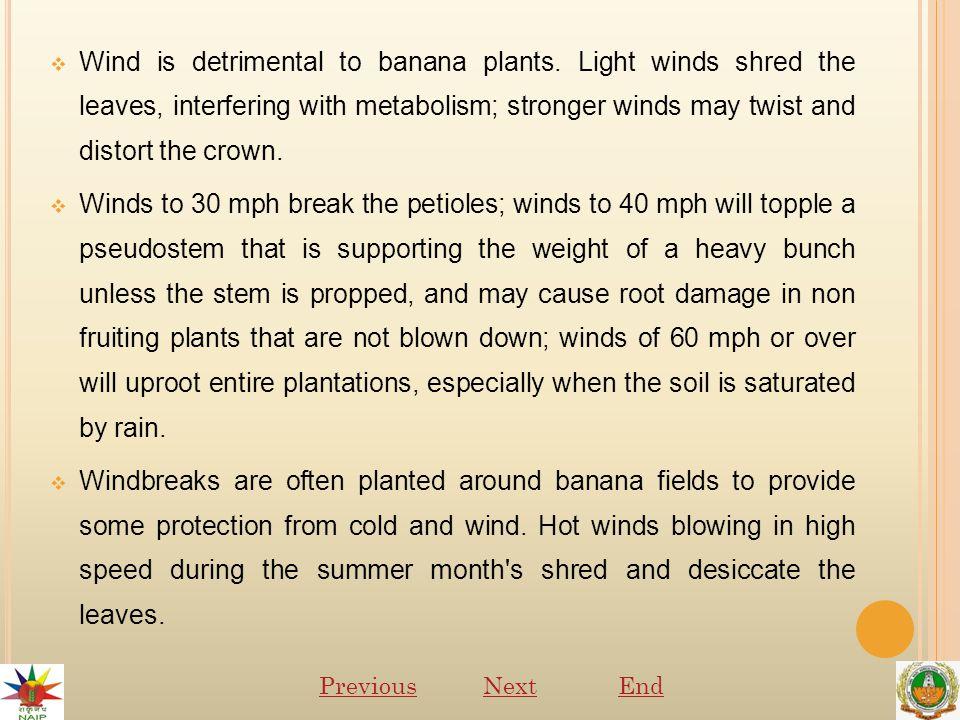  Wind is detrimental to banana plants.