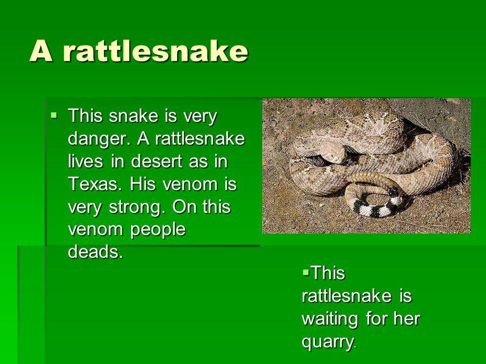 A rattlesnake TTTThis snake is very danger. A rattlesnake lives in desert as in Texas.