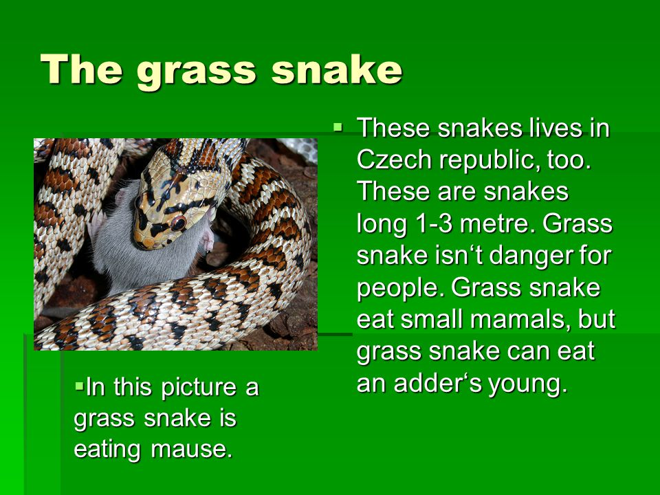 The grass snake  These snakes lives in Czech republic, too.
